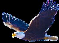 Bald-Eagle-In-Flight.png