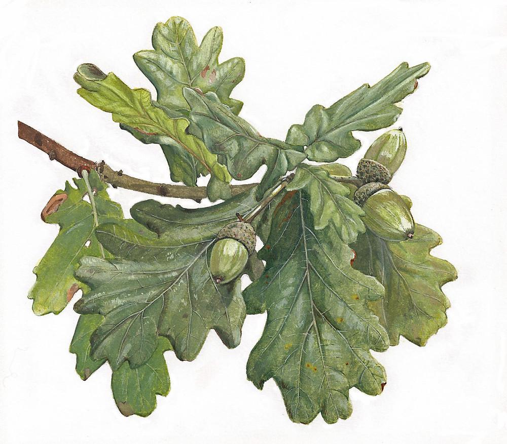 Oak-Leaves-Acorns.jpg
