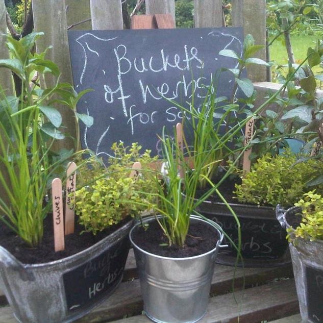 Buckets of herbs.jpeg