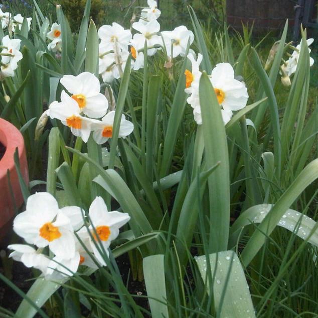 narcissi geranium.jpeg