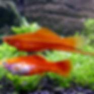 Xiphophorus_hellerii_red_male_female_01.