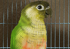aid1271538-v4-728px-Care-for-a-Conure-St