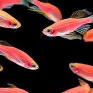 many-orange-zebra-fish-live-together-in-