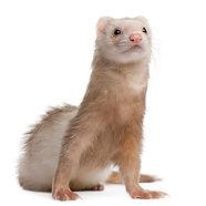young-ferret.jpg