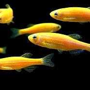glofish-sunburst-orange-danios.jpg