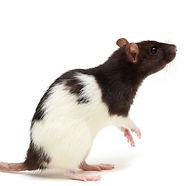 rat_afterlife.jpg