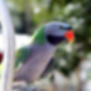 papagajo-parrocchetto-derbiana.jpg