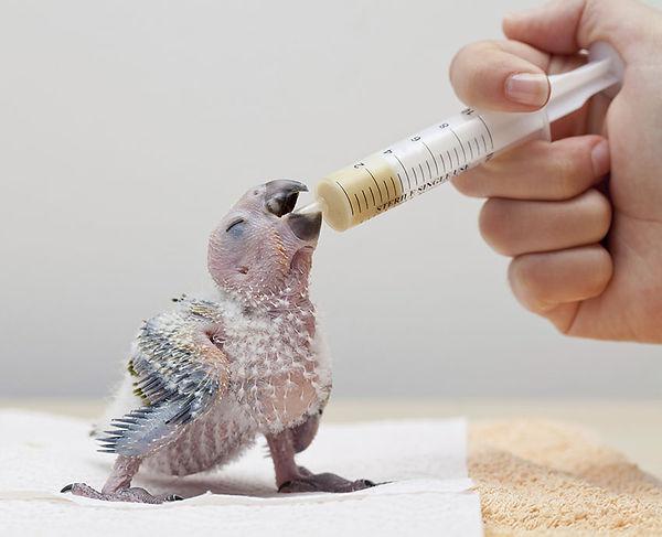 grey-parrot-chick-feeding.jpg