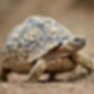 Leopard-Tortoise_edited.jpg