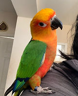 i-am-looking-for-a-jenday-conure-5eaa188
