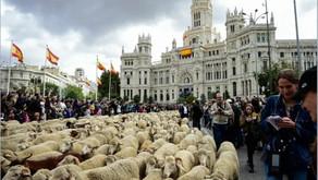 Πρόβατα κατέκλυσαν τους δρόμους της Μαδρίτης, καθ' οδόν προς τα χειμερινά βοσκοτόπια