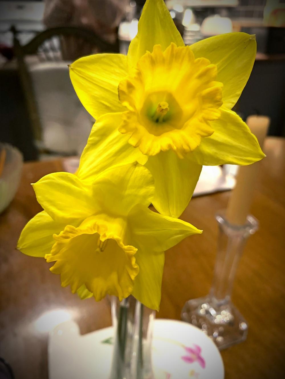 Spring daffodils, Bucks County, PA