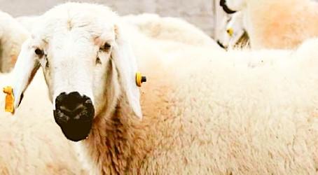 Erzincan Yaylalarından Türkiye'ye Armağan: Tulum Peyniri