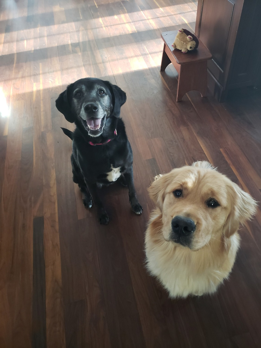 Two pet dogs sitting for their dog walker