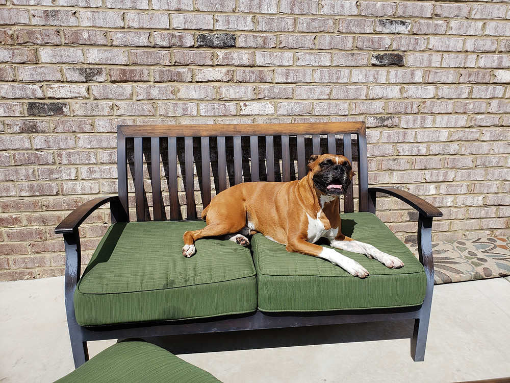 A dog sits on outside furniture instead of going for a dog walk with his pet sitter