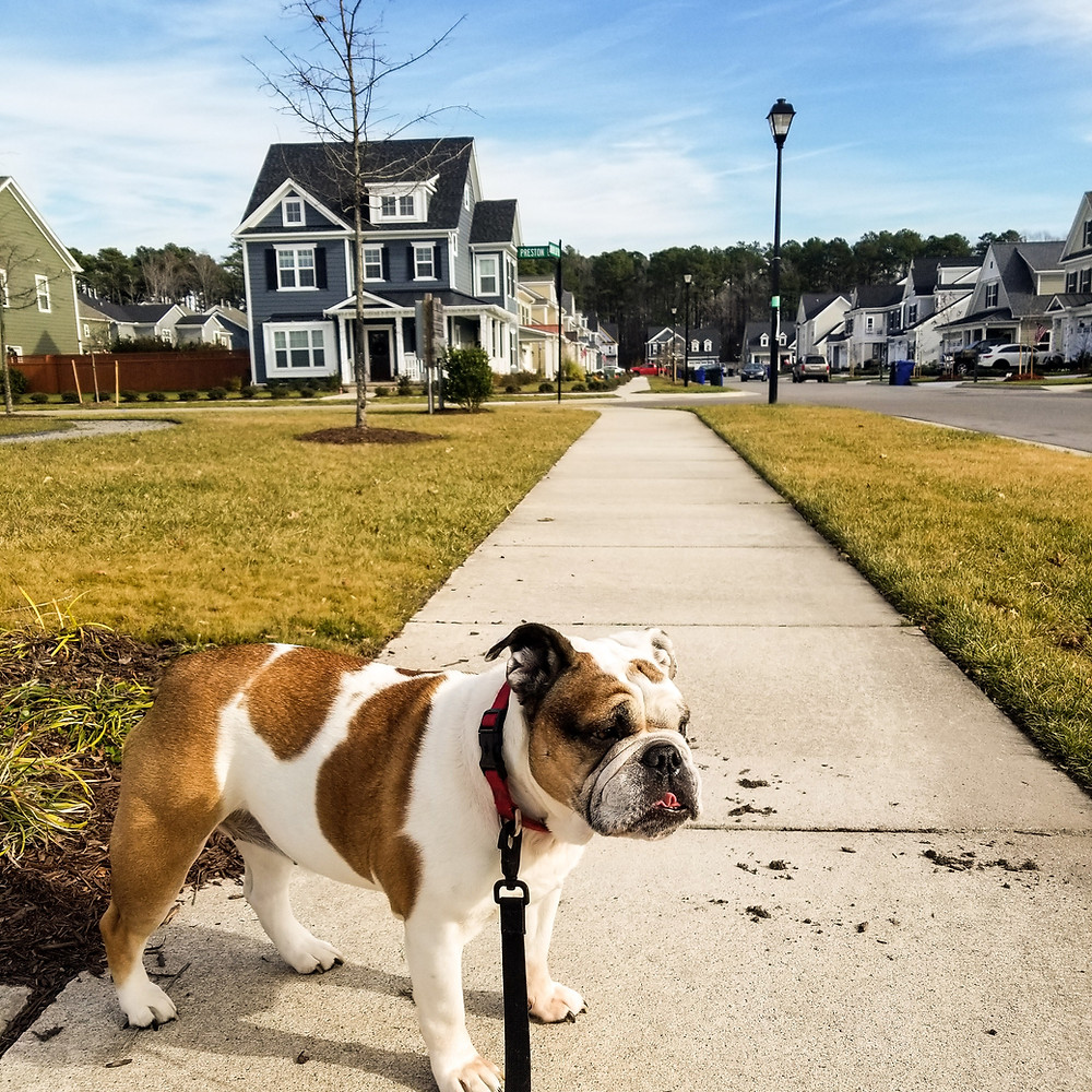 A bulldog walking with her dog walker on a pleasant day