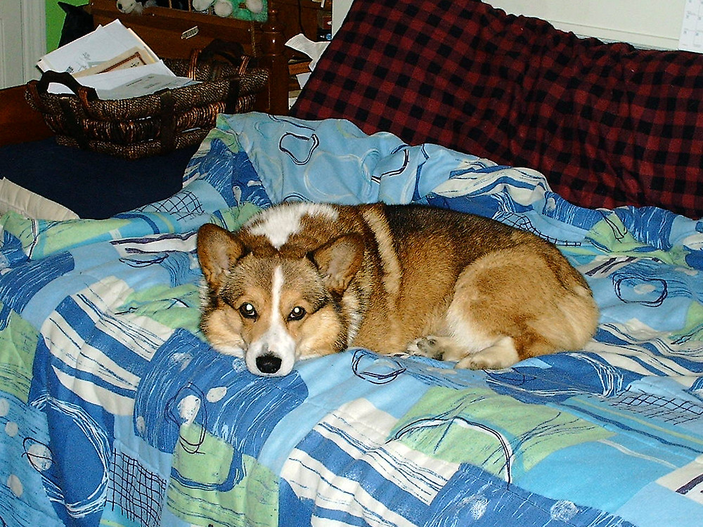 Ollie the corgi sitting on Lara's sofa