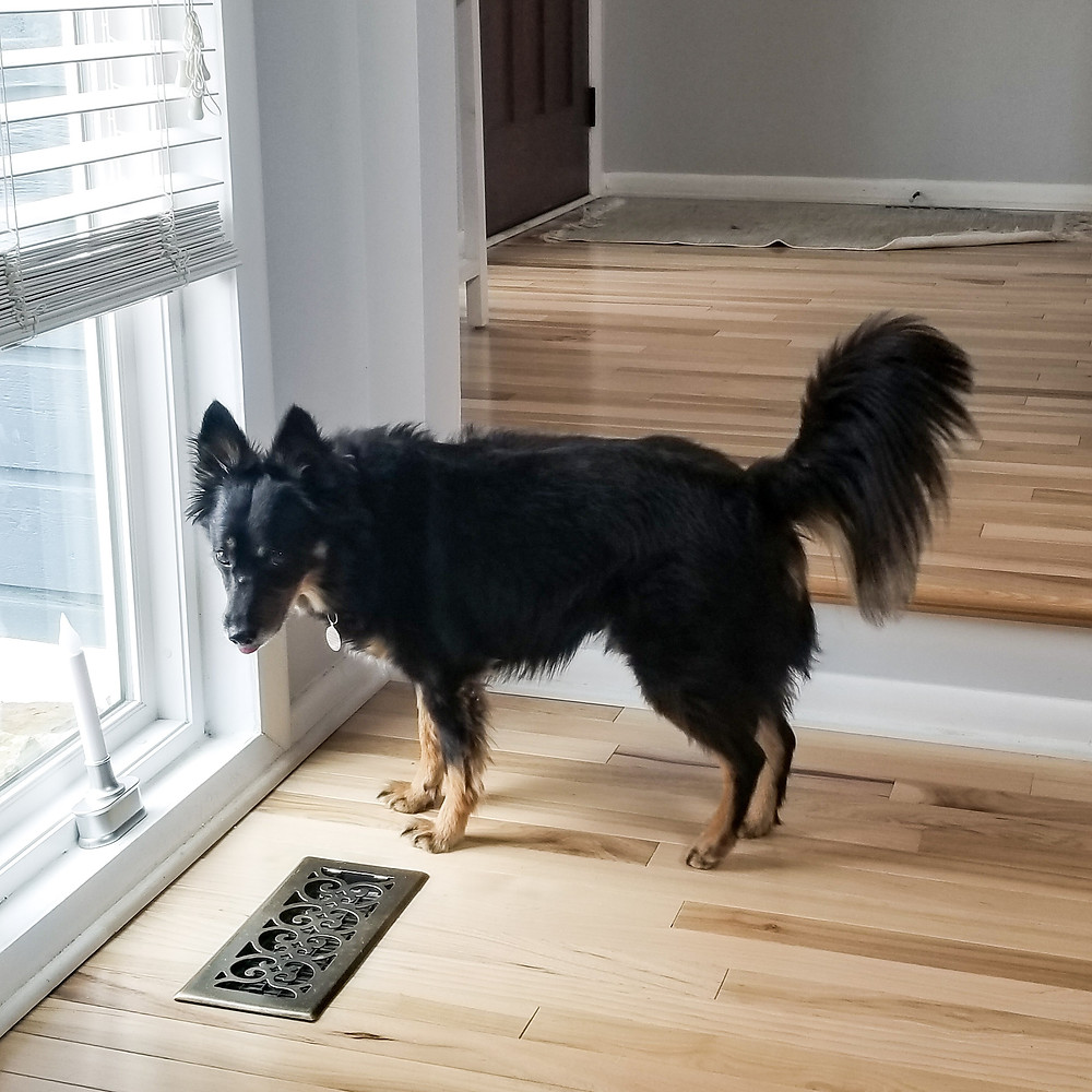A dog watches out the window looking for his dog walker