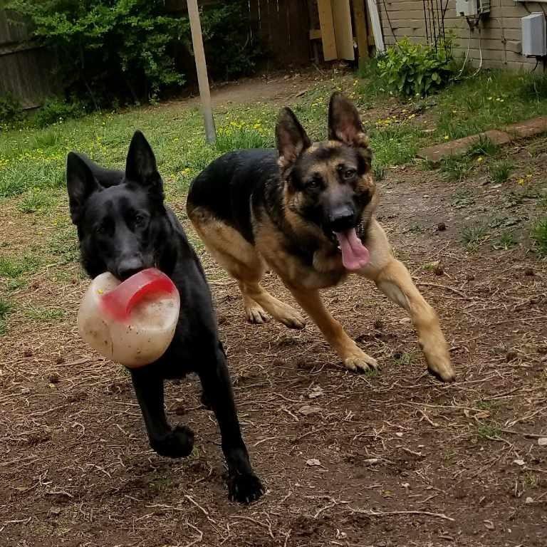 Two German Shepard Dogs walking in their backyard