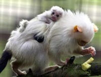 Baby marmoset clinging to its parent