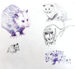 Opossum Sketches.jpeg