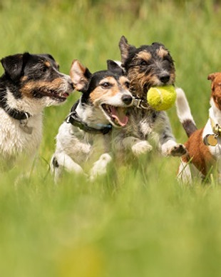 Many dogs run and play with a ball in a
