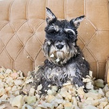 Naughty bad schnauzer puppy dog sitting