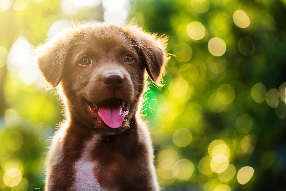 Cute Brown smile happy Labrador retrieve