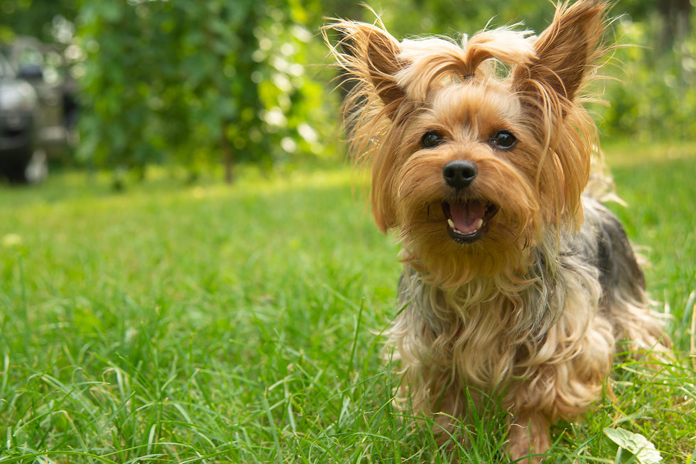 A small dog breed Yorkshire Terrier stan