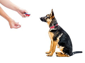 German shepherd puppy being trained how