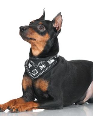 black pincher dog.jpg