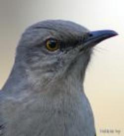 mockingbird bird head picture