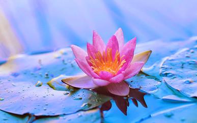 Lotus Flower Wallpapers (2).jpg