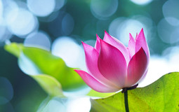 Lotus-Hd-3d-High-Quality-Images-Full-Flo