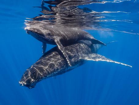 Exposition de photos de baleines à bosse, dont une primée au FISM NC 2019 - Nouméa