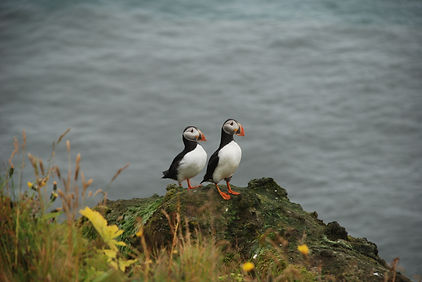 Puffinn or as we call them 'Lundi' close to our B&B at Dyrhólaey