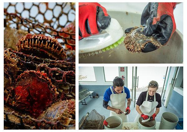 limpieza de ostras perleras