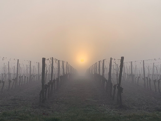 The vines in winter
