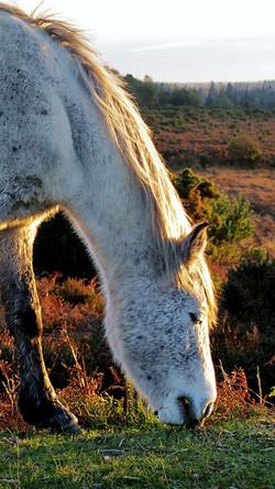 New Forest Pony, Bolderwood_Roman Hobler
