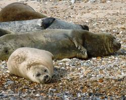 Blakeney Point Seals_Dun.can