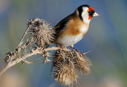 Goldfinch, NWT Cley Marshes_Kev Chapman