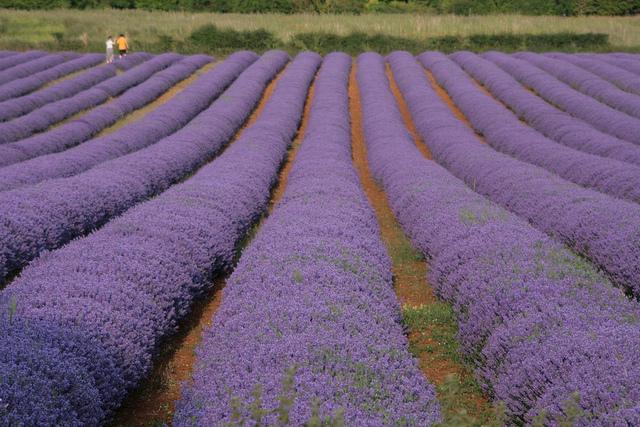 Norfolk Lavender_Karen Roe