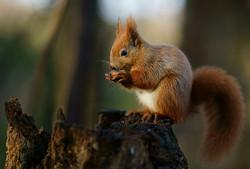 Red Squirrel, Alverstone_Peter Trimming