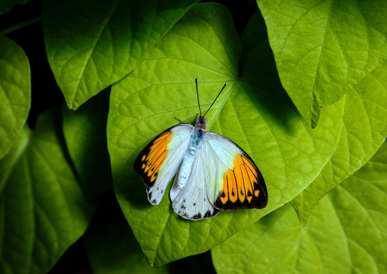 Giant Orange Tip Butterfly