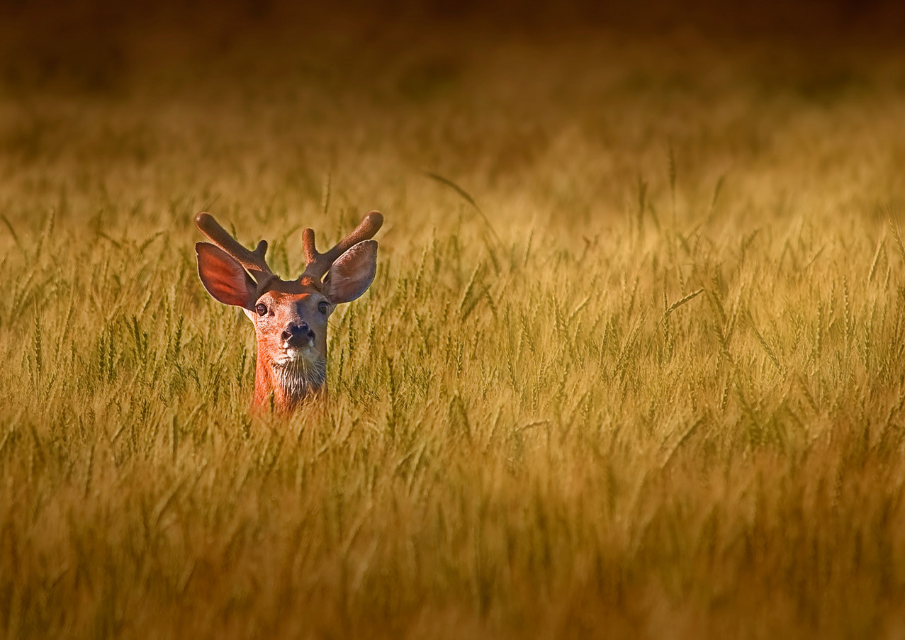 Whitetail Deer in Wheat Field