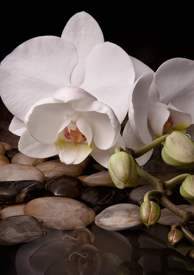 Orchid - Sensuous Virtue