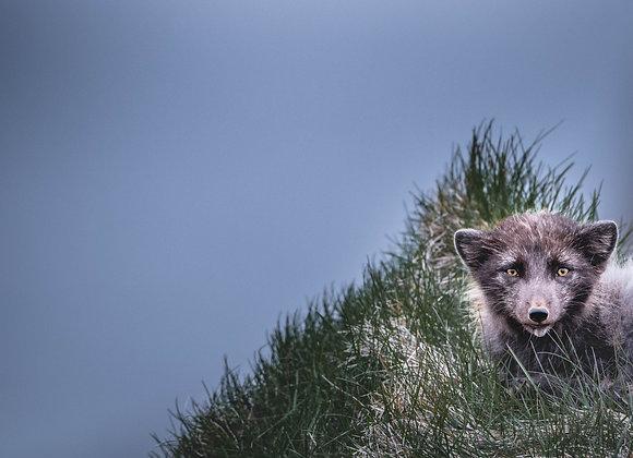 Arctic Fox Expedition - Acompte de 30%