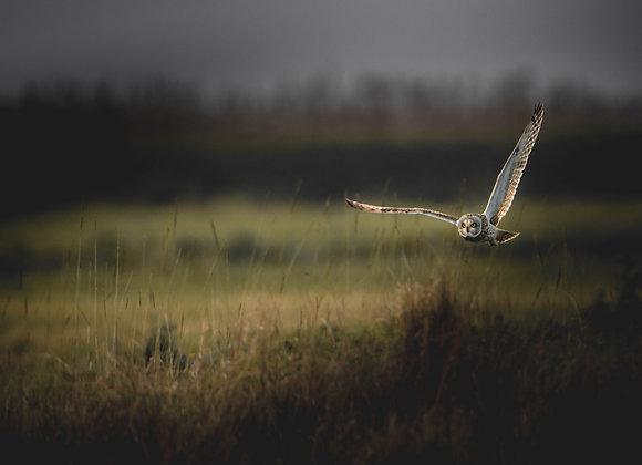 Hibou des marais - FineArt