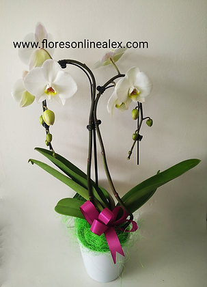 phalaenopsis arco,con ceramica
