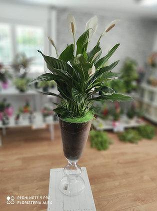 Spathiphyllum en copa de 80cm